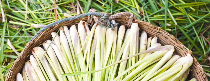 Lemongrass, used to produce citronella